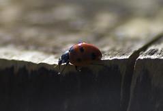 lady bird (eric laum) Tags: ireland macro beautiful closeup canon insect spring ladybird irelande 550d