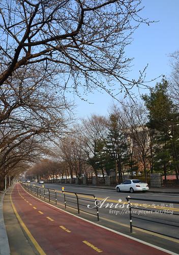 汝矣島櫻花_020.jpg