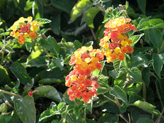 #8296 yellow and red lantana () (Nemo's great uncle) Tags: california ca usa flower flora  lantana camara palmdesert lantanacamara