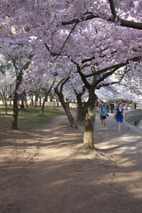 Cherry Blossoms Wed 10 Apr 2013  (166)  Washington DC (smata2) Tags: this you good national cover photograph be pick geographic titlephotosharingimg a i are height48 hrefhttpwwwflickrcomgroups83374492n00 srchttpstaticflickrcom1042978201971b62ce7b44ojpg width129 altnominateda hrefhttpwwwflickrcomgroups83374492n00national enougha