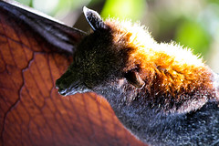 IMG_8208-1 (quilesbaker) Tags: orange gardens orlando bush vampire bat
