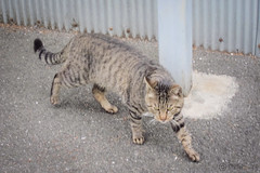 Today's Cat@2013-04-12 (masatsu) Tags: cat canon catspotting thebiggestgroupwithonlycats powershots95