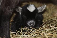 Litet Djur (auzgos) Tags: get killing stall djur hö fotosondag afrikanskdvärgget fs130414 bockkilling