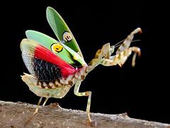 IMG_0008 (thienbs) Tags: macro mantis thienbs