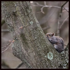 Neighbor Squirrel (drainhook) Tags: nature wildlife squirel treeclimbing