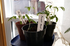 starter pots (haunted snowfort) Tags: plants spring tomatoes pots cherokee starterpots sweetheatpeppers
