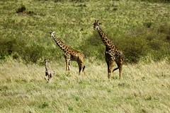 Proud Parents, Spot the 6ft Baby! (Spectacle Photography) Tags: photography kenya giraffe masaimara welshphotographer britishphotographer spectaclephotography drewparkerphotography