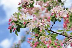 Spring Blossoms (jpellgen) Tags: travel pink flowers usa cemetery arlington america cherry virginia washingtondc spring nikon military blossoms va tamron 18200mm 2013 d3100