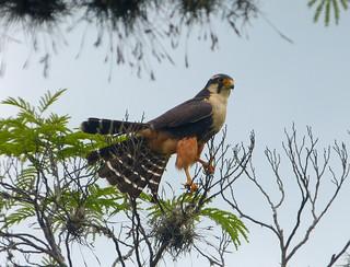 Halcón Plomizo, Aplomado Falcon (Falco femoralis)