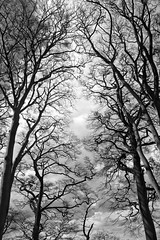 trees (Ray Byrne) Tags: trees blackandwhite bw monotone northumberland northeast raybyrne byrneoutcouk webnorthcouk
