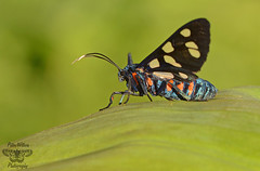 Amata mogadorensis imago (Pete Withers) Tags: