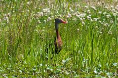 black bellied whistler duck (Nikolas Neitzke) Tags: creek spring pond nikon ditch turtle wildlife alligator ducks bayou nikkor waterfowl 80400mm d90 2013 siennaplantation nikolasneitzke