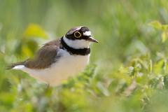 Petit Gravelot (m-idre31) Tags: bird 09 oiseau charadriiformes littleringedplover charadriusdubius petitgravelot mazres charadriids ledomainedesoiseaux