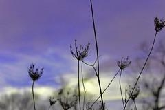 purple sky (Jwaan) Tags: sky weeds purple
