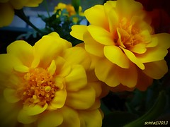 marigolds (scinta1) Tags: flowers two yellow garden petals duo pair bloom marigolds