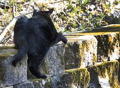 Black Cat Ops Training Mission IMG_0096 (IndyMcDuff (Bellifemine Studios)) Tags: cat canon blackcat feline t5i invitingimages me2youphotographylevel1