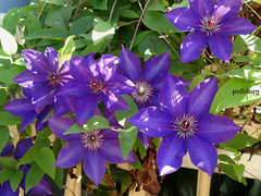Clematis in my garden (pat.bluey) Tags: flowers blue light clematis australia newsouthwales 1001nights mygarden flickraward 1001nightsmagiccity hennysgardens