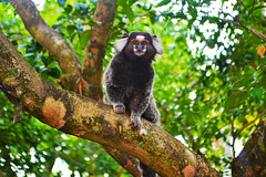Mico de Itaipuau. (lihflones) Tags: tree cute green love nature animal monkey like monkeys mico bichos micos
