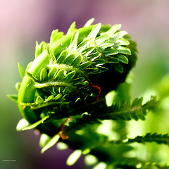 Spring 2 (Isabelle Langlois1) Tags: new sun fern macro tree green nature outside leaf spring sunny