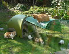 Watch out - the ginger cats are about (Rodents rule) Tags: cat garden guineapig rodent panda willow nonsense blip mrkipling