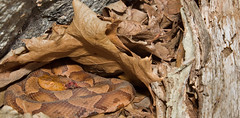 Red Maple Flower (lotterhand) Tags: snake northern venomous copperhead pitviper