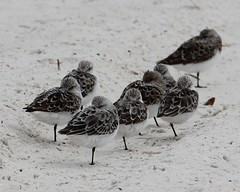 2013 05 02_3029_sleeping on the beach (nbc_2011) Tags: bird nature florida calidris animalplanet planetearth semipalmatedsandpiper calidrispusilla northwestflorida
