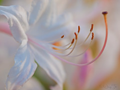 Dance of the Stamens (JacquiTnature) Tags: white macro nature petals flora bokeh stamens wv wildflower rhododendronnudiflorum pinkazalea flowersandplants nativeamericanwildflower pinxterflowers jacquit