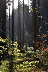 _DSC9076 Abendsonne im Wald - Evening sun in the forest (baerli08ww) Tags: sunset sun forest germany deutschland spring nikon sonnenuntergang sonne wald frhling rheinlandpfalz westerwald