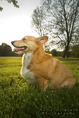 In Profile (hhildrethphoto) Tags: columbus sunset ohio usa dog pets smiling animals canon puppy outside outdoors pembroke happy photography spring corgi hiking happiness stoli panting welsh westerville stolichnaya sharonwoods metropark speedlite offcameraflash 580exii hollyhildreth