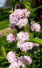 Flowering Almond (Tatiana12) Tags: garden spring michigan annarbor almond flowering 2013
