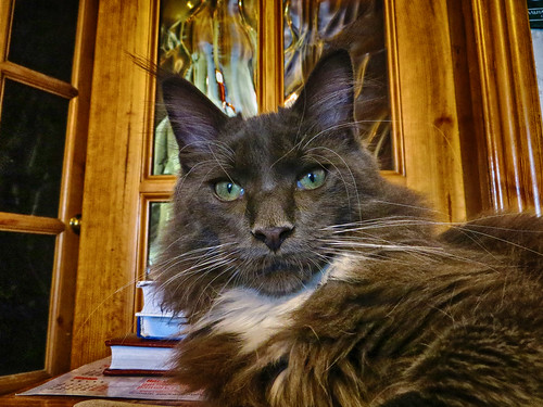 maine coon Florimon 41