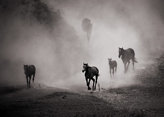 Horses (Amickman) Tags: pakistan wild horse storm motion male nature speed mammal freedom bay moving sand force power farm gray young free fast ground run getty beast strong dust runner emotions herd equestrian fastest forward gettyimages gallop foal hoofed gettyimagesmiddleeast