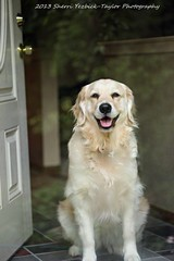 Bailey at the front door (SY Taylor) Tags: dog pet cute smiling animal goldenretriever golden waiting canine englishgolden