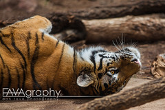 UN6A9113 (Dan Fava) Tags: usa animal cat canon zoo iso100 colorado tiger denver gato co northamerica  200mm  28 canoneos5dmarkiii canon5dmarkiii 70200mmf28lisiiusm ef70200mm28lisiiusm Lens:ID=251