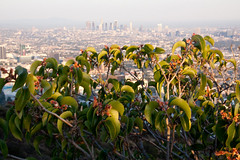 Bushes and Downtown Los Angeles - Runyon Canyon Park, LA (ChrisGoldNY) Tags: california city urban architecture buildings poster la losangeles forsale skylines socal urbannature posters albumcover bookcover southerncalifornia bushes dtla bookcovers albumcovers runyoncanyon laist runyoncanyonpark chrisgoldny chrisgoldberg chrisgold chrisgoldphoto chrisgoldphotos