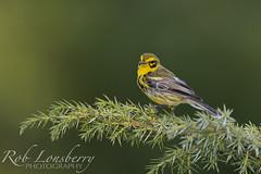 Prairie  Warbler (Rob Lonsberry Photography) Tags: prairiewarbler warbler rare setophagadiscolor nikon nikond500 nikon500mmfl