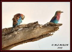 PAIR OF LILAC - BREASTED ROLLERS  (Coracias caudata).....MASAI MARA......SEPT 2015 (M Z Malik) Tags: nikon d3x 200400mm14afs kenya africa safari wildlife masaimara kws exoticafricanwildlife exoticafricanbirds ngc