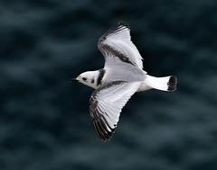 Kittiwake (imm) Bempton Cliffs, East Yorkshire 27 July 2016. (Lathers) Tags: bemptoncliffs rspbbemptoncliffs seabirds cliffs canonef100400f4556lismarkii canoneos7dmarkii 25july2016 kittiwakeimm kittiwake rissatridactyla
