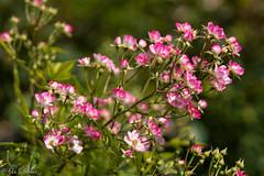 IMG_7765 (ElsSchepers) Tags: hasselt natuur vlinders kuringen stokrooie limburglavendel lavendelhoeve