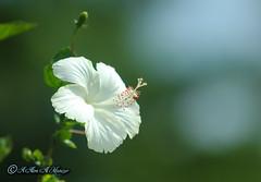 White Joba (alimalmunzur) Tags: whitejoba sadajoba flower canon canon650d canon70200mm canon70200f28 beautifulbangladesh