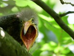 That's How They Swallow Fish...Baby Green Heron (ozoni11) Tags: heron herons greenheron greenherons birds bird baby babies wetlands wildelake michaeloberman maryland ozoni11 ornithology columbiamaryland howardcountymaryland nikon nikond500 d500