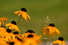 Stand Out In The Crowd (catmccray) Tags: rudbeckia yellowflower summer flower