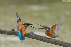 discussioni!!!!!!!! (taronik) Tags: animali acqua martinpescatore natura uccelli cacciafotografica brilliant