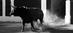 Cret de Toros (aficion2012) Tags: toro bull bullfight corrida ceret escolar gil francia france 2014 bw monochrome