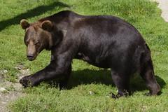 Brown bear looking grumpy (Helen Lundberg Photo) Tags: bear brownbear animal outdoor ursusarctos grumpy brunbjrn