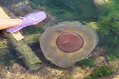 Cotylorhiza tuberculata (mcalamelli) Tags: cotylorhizatuberculata jellyfish medusa ancona marche italy mareadriatico sea mare blue water summer estate
