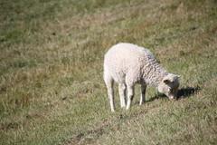 IMG_9590 (Couchabenteurer) Tags: rømø insel dänemark sheep deich schaf gras grasen