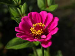Kwiaty z mojego ogrdka (tomek034 (Thank you for the 1 000 000 visits)) Tags: kwiat ogrd natura