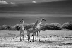 More Giraffes in Infrared (zenseas : )) Tags: giraffes clouds sky tall giraffe wild angolangiraffe namibiangiraffe giraffacamelopardalisangolensis giraffacamelopardalis safari selfdrivesafari etosha etoshanationalpark namibia africa holiday vacation ir bw blackandwhite monochrome infrared digitalinfrared namutoni