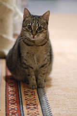 cat ANAiS best (104) (RaceGN) Tags: beauty pretty nikon nikkor d50 portrait animal dof bokeh backround sweet lovely 8g racegeneral anais 85mm f18 cat
